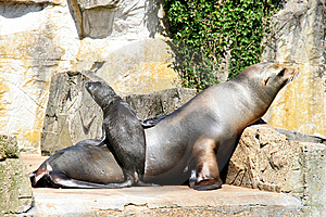 Sea Lion And Cocky Standing Little Baby Stock Photos - Image: 9031633