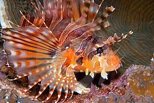 Zebra Lionfish (Dendrochirus Zebra) Royalty Free Stock Photos - Image: 9032418