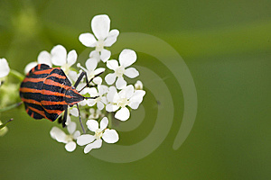 Hemiptera Red Stink Bug In White Flowers Stock Photo - Image: 9033680