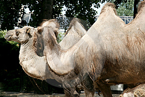 A Grand Couple Of Camels Royalty Free Stock Images - Image: 9035399