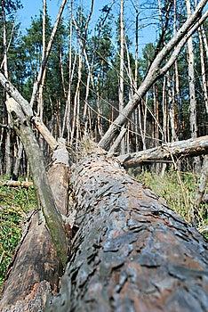 Felled Pine Stock Image - Image: 9036551