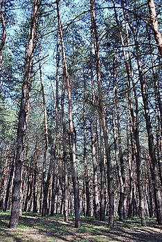 Pine-wood Stock Image - Image: 9036621