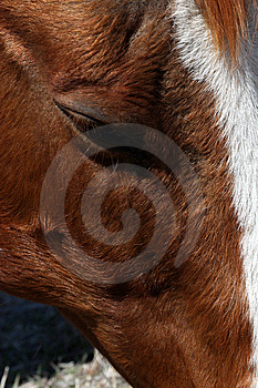 Sorrel Horse Eye Stock Photography - Image: 9037082