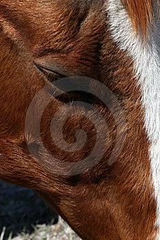 Sorrel Horse Eye Stock Photography - Image: 9037082