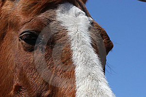 Sorrel Horse Royalty Free Stock Photo - Image: 9037115