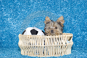Yorkshire Terrier Puppy In Basket With Soccer Ball Stock Photos - Image: 9038593