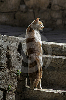 Staring Cat Royalty Free Stock Image - Image: 9038886