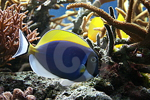 Tropical Fish Royalty Free Stock Photos - Image: 9041698