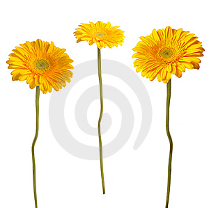 Yellow Gerbera Stock Photo - Image: 9042790