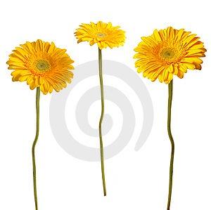 Gerbera Kolor żółty Zdjęcie Stock - Obraz: 9042790