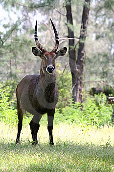 Common Waterbuck Stock Photography - Image: 9050432