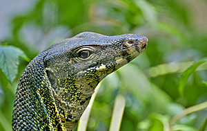 Lizard In The Nature Royalty Free Stock Photo - Image: 9050935