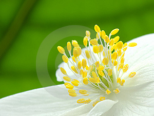 Center Of Anemone Flower 3 Stock Image - Image: 9051581