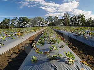 Strawberry Fields At Strawberry Farm Stock Images - Image: 9054004