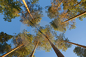 Pine Tops Stock Image - Image: 9054691