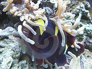 Anemonefish Mit Wirt Lizenzfreie Stockfotografie - Bild: 9059207