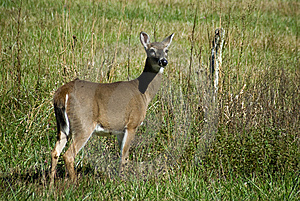 Female Deer Stock Photo - Image: 9060630
