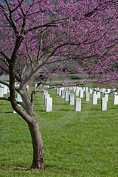 Redbud At Veterans Cemetery Stock Photos - Image: 9060703