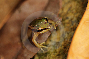 Macro Of A Frog Stock Images - Image: 9062254