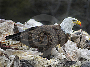 Bald Eagle2 Royalty Free Stock Images - Image: 9063429