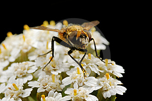 The Fly On White Small Flowers Stock Photos - Image: 9064303