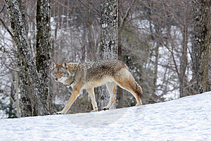 Coyote Stock Image - Image: 9067071