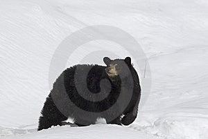 Black Bear Royalty Free Stock Images - Image: 9067129