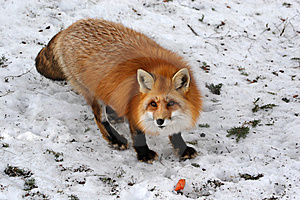 Red Fox Royalty Free Stock Photos - Image: 9067138