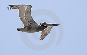 Pelican In Flight Stock Image - Image: 9068161