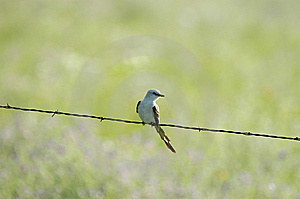 Scissor-tailed Flycatcher Stock Photos - Image: 9068323