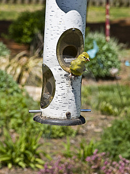 Baby Yellow Bird Stock Photography - Image: 9074132
