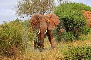 Red Elephant - Bull Stock Image - Image: 9078431