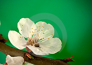 Spring Blossom On Green Royalty Free Stock Photography - Image: 9079147