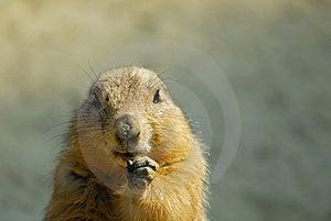 Prairie Dog Royalty Free Stock Photos - Image: 9081918