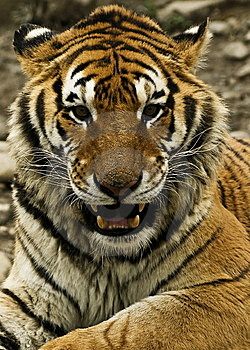 Tiger Stock Images - Image: 9084834