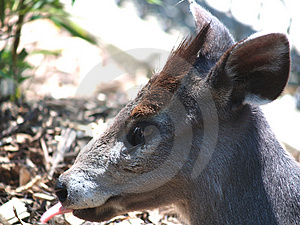 Cervi Di Japaneese Fotografia Stock Libera da Diritti - Immagine: 913177