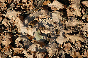 Oak Leaves Royalty Free Stock Photo - Image: 914805