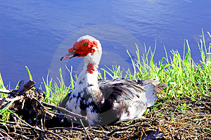 Ugly Duckling # 1 Royalty Free Stock Photo - Image: 924405