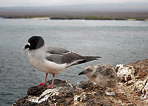 Swallow-tailed Gull Royalty Free Stock Photo - Image: 9220485