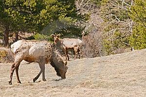 Elk Grazing In Woods Stock Images - Image: 9220784