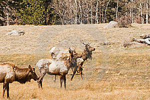 Elk Grazing In Woods Stock Photography - Image: 9220852