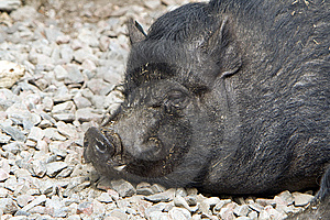 Pig Royalty Free Stock Photo - Image: 9223765