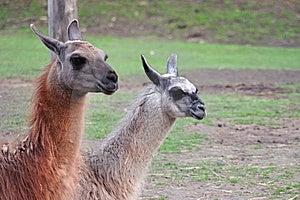 Llama Couple Royalty Free Stock Photography - Image: 9228567