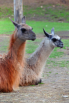 Llama Couple Stock Images - Image: 9228584