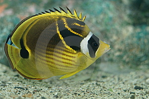 Raccoon Butterflyfish (Chaetodon Lunula) Royalty Free Stock Photos - Image: 9229168