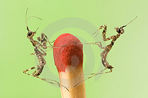 Mantises On Match Stock Image - Image: 9232401