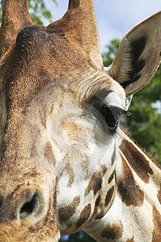 Giraffe Eye 801 Royalty Free Stock Images - Image: 9235489