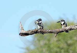 Pied Kingfisher Stock Photo - Image: 9247280
