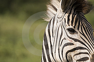 African Zebra Eye Royalty Free Stock Image - Image: 9248916