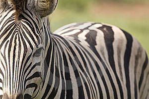 Closeup Of Zebra With Body Royalty Free Stock Photography - Image: 9249157